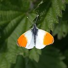 Orange Tip by cappa