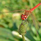 Half - Banded Red Dragonfly by AfricanImages