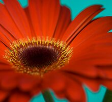 Red Gerbera II by Andrew Brown