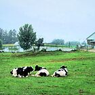 Contented cows... by Judy Clark