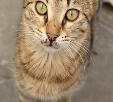 Eye Contact With A Stray Tabby Cat by taiche