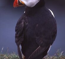 Puffin 1 by Fiona MacNab
