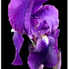 Purple iris by Kath Gillies