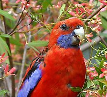 "Crimson Rosella ~ ""I'll Brighten Your Day"" by Robert Elliott"