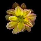 Small Dahlia by Jeffrey  Sinnock