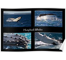 Humpback Whales Poster