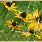 Black-Eyed Susans by Pattiann Malynn