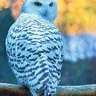 Snowy Owl by Ian Phares
