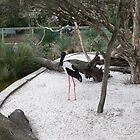 Jabiru on guard. by Heabar