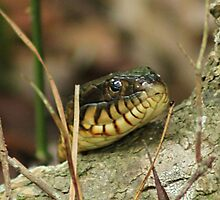 Banded Water Snake by Cynthia's   Art