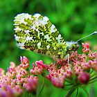 Female Orange Tip Butterfly by Pauline Jones