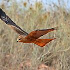 Black Kite ~ Under the Radar by Robert Elliott