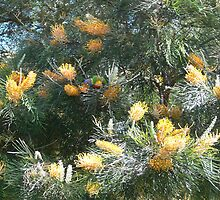 Golden Grevillea. by Heabar