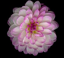 Pink and white Dahlia by Jeffrey  Sinnock