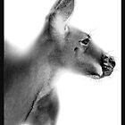 Red Kangaroo : Macropus rufus by WildLensPress