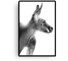 Red Kangaroo : Macropus rufus Canvas Print