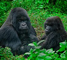Silverback in Rwanda by Melinda Kerr