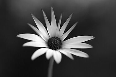 BW Flower by berndt2