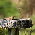 Thrush in Birdbath by Judy Harland