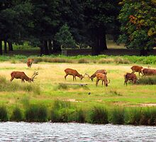 Deer in Richmond Park by roughcollie