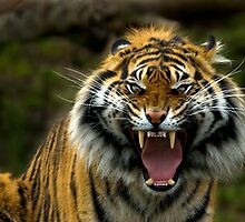 Eye of the Tiger by DawsonImages