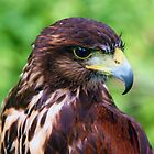 Falcons Eye by Bob Martin