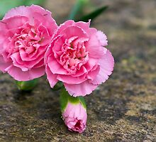 red carnation by flashcompact