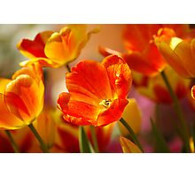 Glowing Tulips Photographic Print
