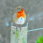 robin by Steve