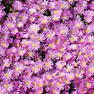 pink mesembryanthemum by britishphotos