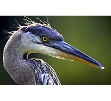 Great Blue Heron Head Shot Photographic Print