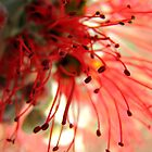 Spider Flower by Kathie Nichols