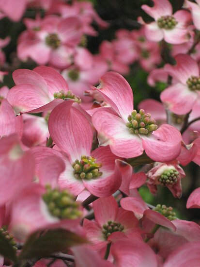 Dogwood by Stephen  Shelley