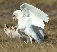 Long-Billed Corellas (3) by Wildpix