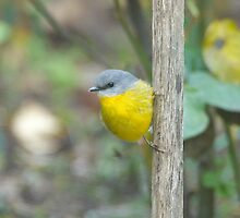 Eastern Yellow Robin by Wildpix