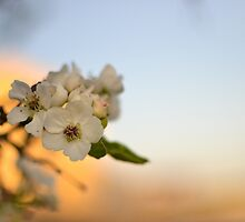Pear Tree Flowers against Sunset by heartlandphoto