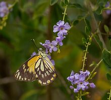 Female Caper White Butterfly by JLOPhotography