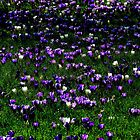 Kew Crocus by Barnbk02