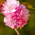Flowering Cherry by MikeBJ