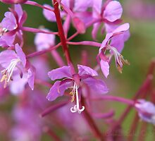Fireweed by Crokuslabel