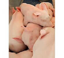 Pile of Piglets Photographic Print