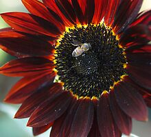 Wine Red Sunflower by Betty Mackey