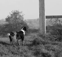 Beautiful English Springer Spaniel set in the stunning Lincolnshire countryside by JFPhotography