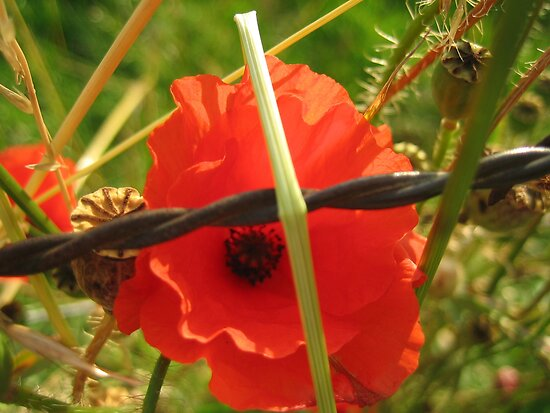 Barbed Poppy  by MaryO