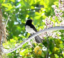 Willy  Wagtail Watching by Sandra Chung