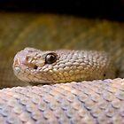 Aruba Island Rattlesnake (Crotalus unicolor) by Daniel Attema
