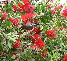 Where's Waldo errr Wattlebird? Hiding in the Bottlebrush trees! by Sandra Chung