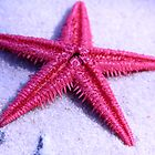 Starfish by cshphotos