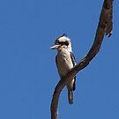 Kookaburra by judygal