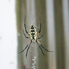 Black and Yellow Orb Web by Nightmaiden